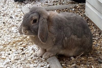 How Long Do Rabbits Live as Pets? Lifespans of 16 Breeds