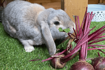 Can Rabbits Eat Beetroot? (6 Real Rabbits Tested!)