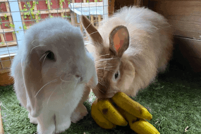 Can Rabbits Eat Banana? (6 Real Rabbits Tested!)