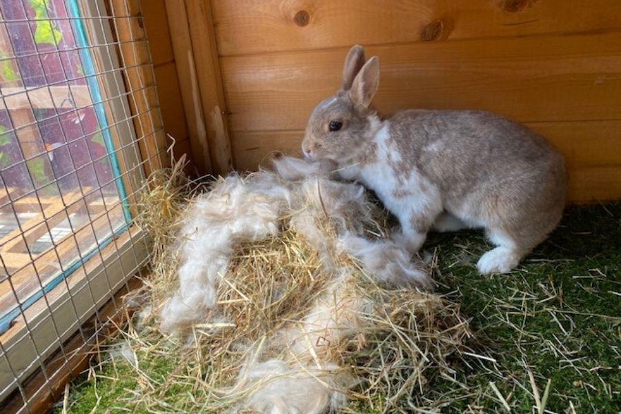A Rabbit building a nest