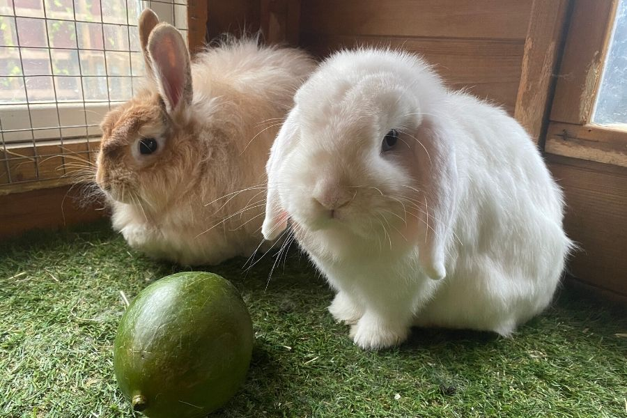 two rabbits and a mango