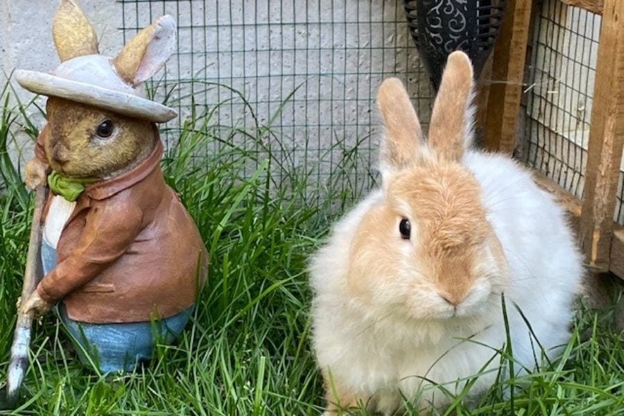 can i pick grass for my rabbit
